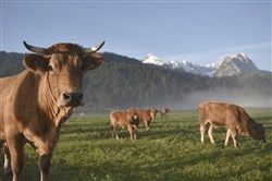 In this Sept. 4 file photo, cows graze on a meadow in Garmisch-Partenkirchen, southern Germany, in front of the snow-covered Alpspitze and Zugspitze, right, mountains.