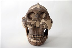 A model of a Paranthropus boisei skull at Cambridge University.