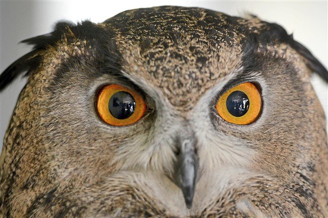 """A Eurasian eagle owl casts an intense gaze Wednesday at the National Aviary on the North Side. The aviary's """"Extraordinary Owls"""" event highlights several different types of owls and runs until spring 2018. The aviary has planned several events, including daily owl talks and """"Owl Prowls,"""" guided after-dark walks in local parks to look and listen for owls."""