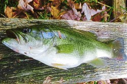 Scott Kozelnik of Wexford released about a dozen largemouth bass, including this one, recently at Glade Run Lake using a spinner with paste bait.   handout