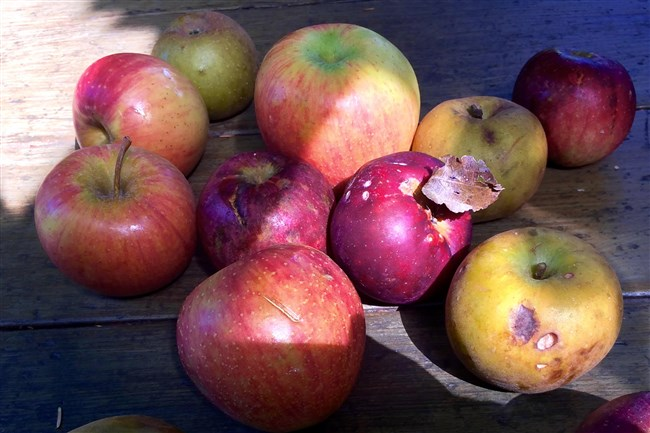 Virginia Phillips of Slow Food Pittsburgh expects some of these apple varieties to find their way to the tasting buffet at the group's Apple Dinner Social Night on Oct. 17 at Quickhatch Coffee + Food in Etna. The small, dark yellow russets and the small red apples are heirloom varieties from Mick Luber of Bluebird Farm in Cadiz, Ohio. The large apples varieties are Rubinette, Cox's Orange Pippin and a Golden Delicious cross, all from Paul's Orchard in Joffre.