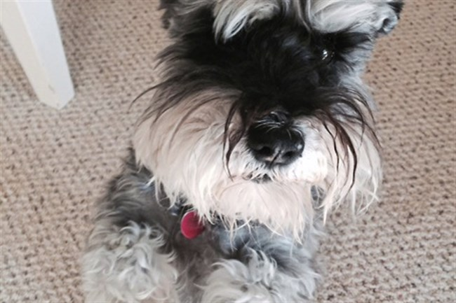 Samson the miniature schnauzer vacations in Colonial Williamsburg with Sharon Danovich and John Lupone.