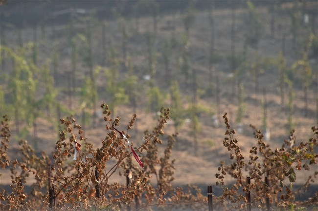Burnt grape vines are seen in a vineyard, October 12, 2017, in Santa Rosa, California.