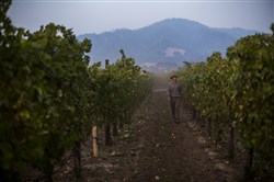 Cameron Mauritson, whose grapes supply some 60 different wineries, walks among his 350 acres of vines near Healdsburg, Calif., on Oct. 16, 2017.