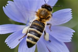 In this Aug. 22, 2017, file photo a  bee sits on a cornflower to collect pollen in Frankfurt, Germany.