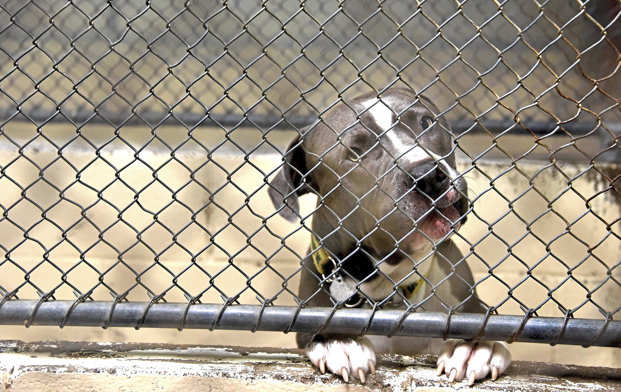 20171016dsPetTales1021Mag06-5 Mowgli patiently waits at Animal Protectors Of Allegheny Valley's current shelter.