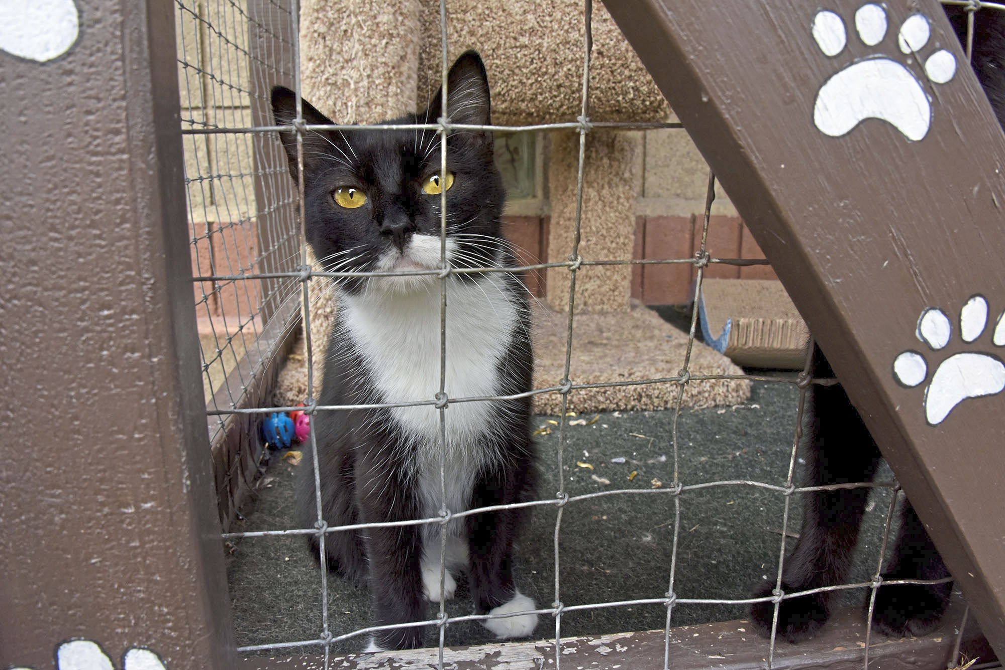 20171016dsPetTales1021Mag07-6 A tuxedo cat waits at the New Kensington Animal Protectors Of Allegheny Valley shelter.