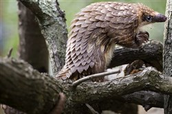 A female white-bellied tree pangolin climbs on a limb at the Pittsburgh Zoo & PPG Aquarium.