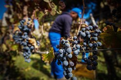 In this file photo, harvest gets underway in the vineyards at the archaeological site of Pompeii, near Naples, southern Italy, on Oct. 25, 2017.