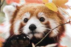 Children can meet the red panda on Dec. 27 at the Pittsburgh Zoo & PPG Aquarium's mini-camp.
