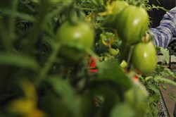 This file photo shows tomato plants in Gainesville, Fla., on March 22, 2013.