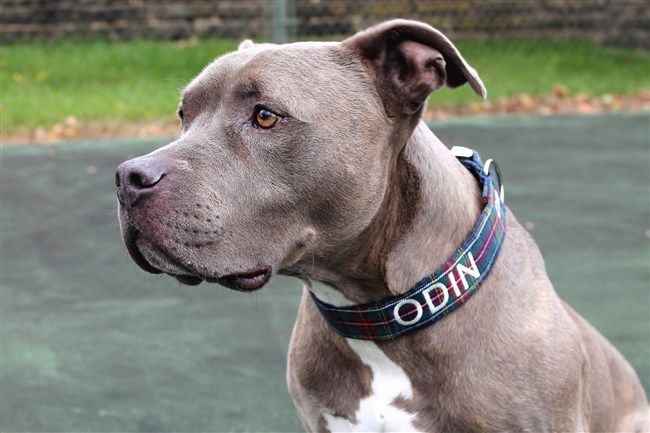Odin in a personalized Scout Dog Collar.