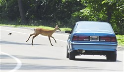 Fouling fauna: A deer dashes across Riverview Drive in Riverview Park in the city's North Side.