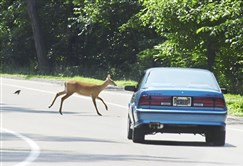 A white-tailed deer runs across Riverview Drive in Riverview Park on the North Side.
