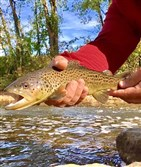 Jeffrey Coles of North Huntington caught a beautiful tiger trout and this nice brown on Loyalhanna Creek near Ligonier.
