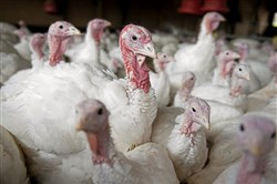 Turkeys gather at Pounds' Turkey Farm in Leechburg.