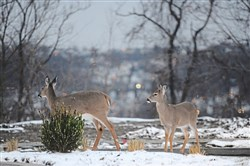 Deer graze along Bentley Drive in the Hill District in January 2017.