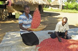 "In this file photo taken Nov. 1, 2017, Ugandan farmer Richard Opio and his wife sort through their most recent harvest of ""super beans"" that are being promoted to feed the hunger-prone African continent, in Nwoya, Uganda."