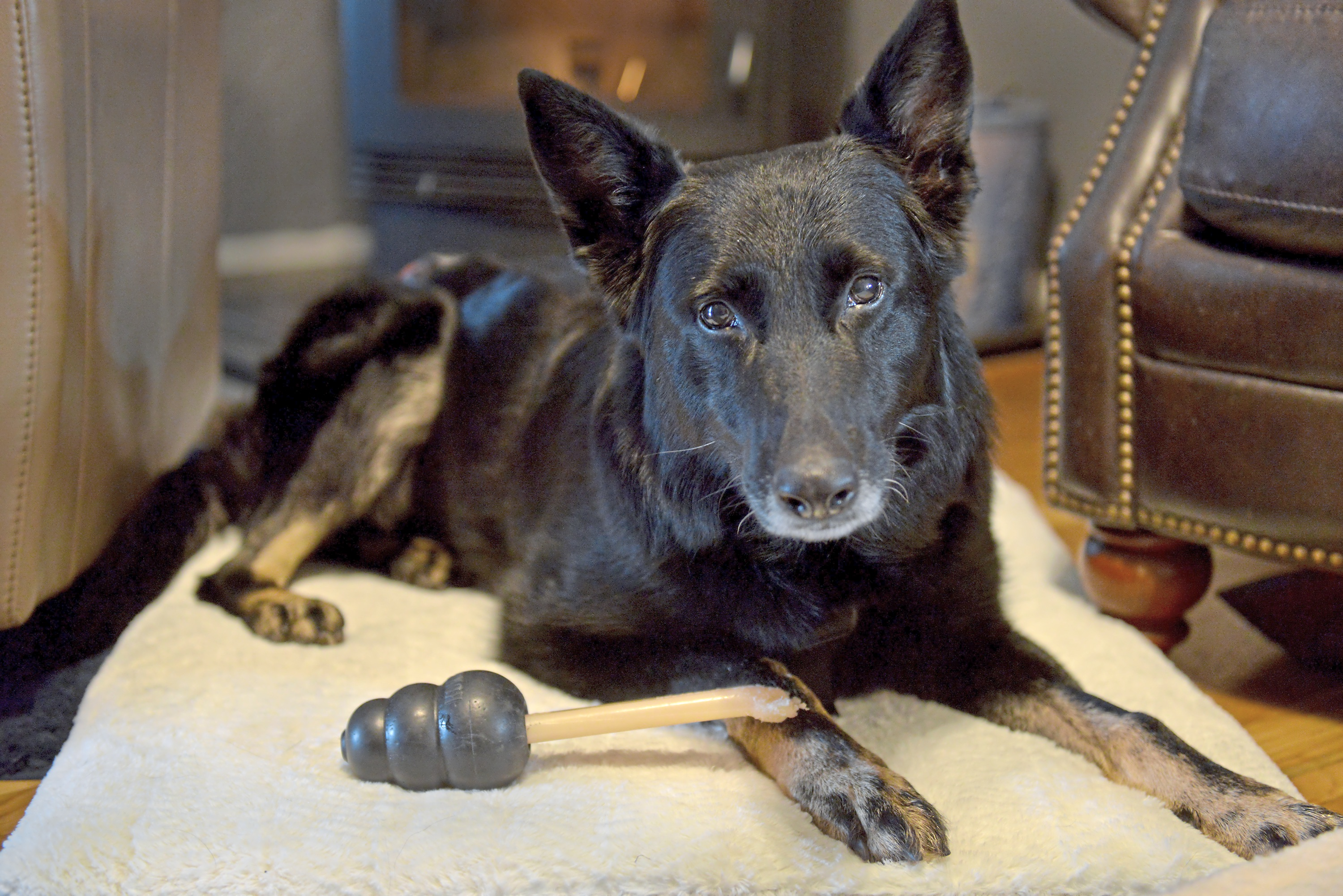 20171201ppPetTales1MAG-1 Honz, a 7-year-old German shepherd and former bomb and gun detection dog with the Veterans Administration, rests after another day of rehabilitation in the home of his partner, Sgt. Charles Hartman of Penn Hills.