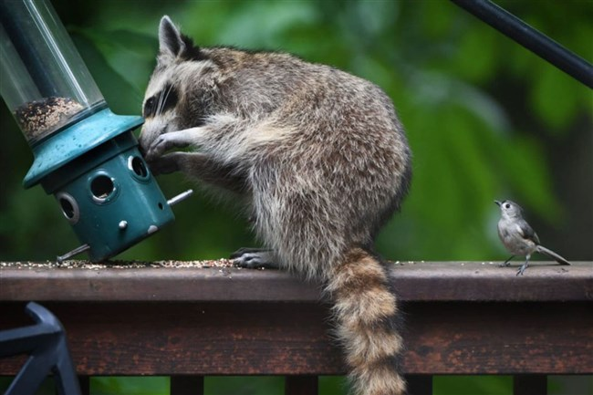 In the battle of the brains, raccoons measure up to dogs - by one measure, at least.