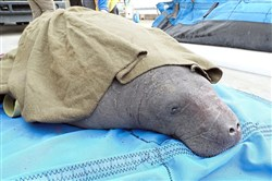 This manatee was among 10 stranded mammals rescued by a team that included PPG Aquarium staff in late November.
