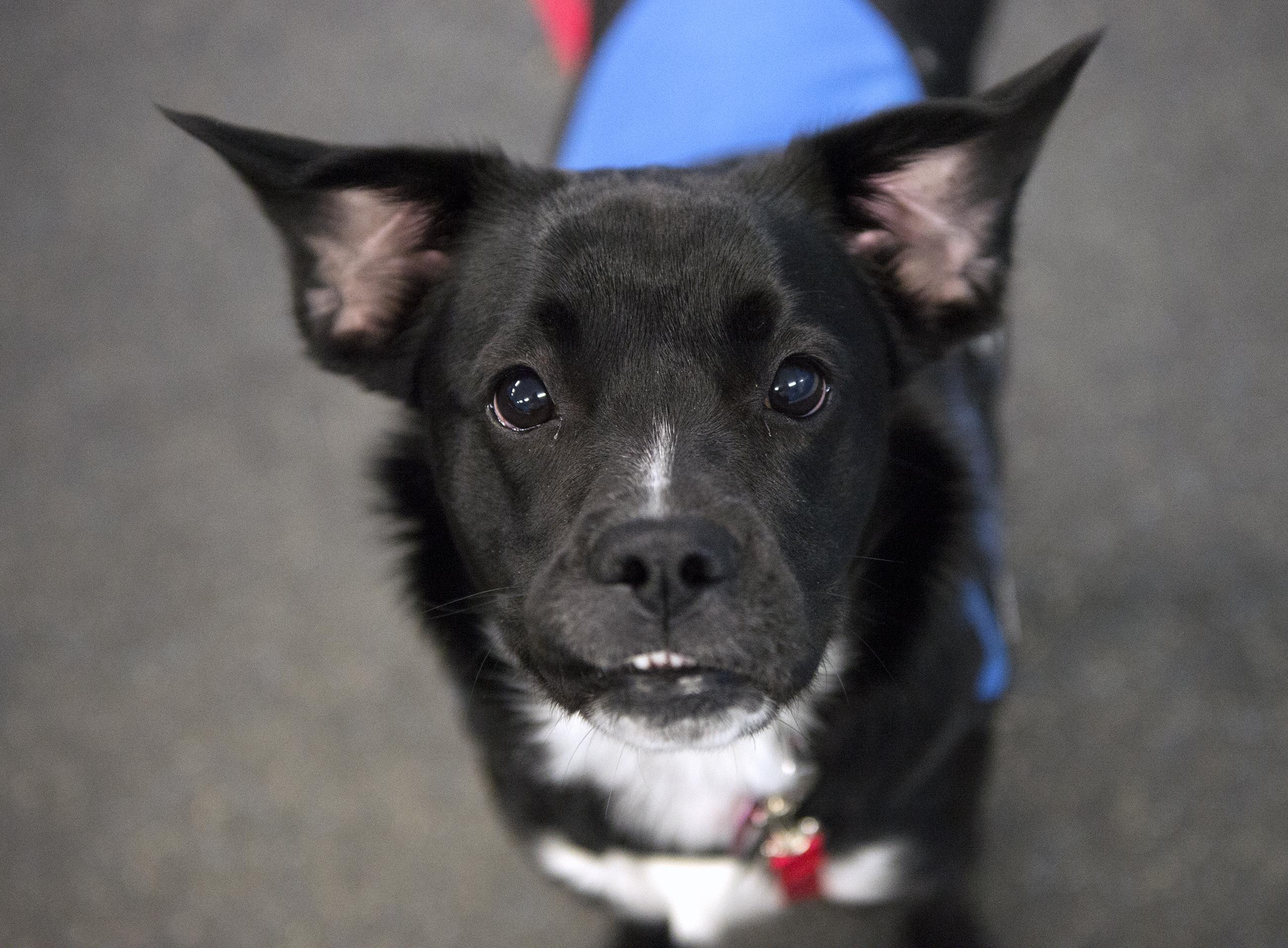 20171220hnRaisin-1 Raisin, the first graduate of Canine Service Pals, has a slight underbite.