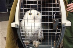 State prison employees and a conservation officer from the PA Game Commission rescued this Snowy Owl from an entanglement with razor wire at SCI Smithfield.