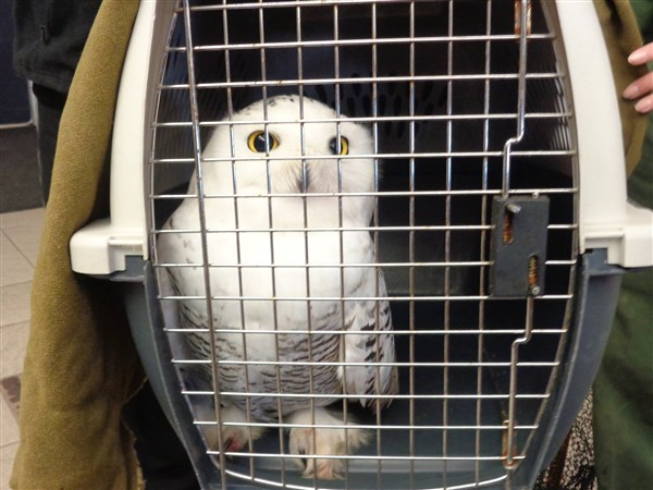 animal lovers save snowy owl from razor wire at pa  state
