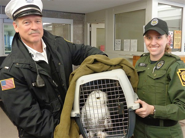 great escape  snowy owl rescued from razor wire at pa