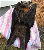 This handout picture taken January 7, 2018, and released by Help Save the Wildlife and Bushlands in Campbelltown shows the rescue of a heat stricken bat in Sydney.