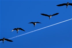 Birds of a feather fly nearly together as a line of Canada geese and a passenger jet take flight over Holmes Lake Park on Jan. 9, 2018, in Lincoln, Neb., during a respite from frigid temperatures that began the year.