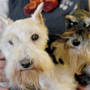 Mr. Wilson, left, a 15-year-old miniature schnauzer, is retiring after 13 years of working as a grief counselor at Charters Custom Pet Cremation in Bridgeville. Beside him is Colby, 10, who also belongs to Deb Chebatoris.