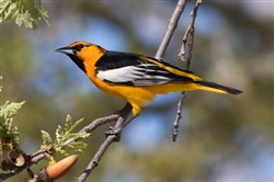 Bullock's oriole is a U.S. western breeding species that typically winters in western Mexico. Since Dec. 8, 2017, one has been seen in Hampton, a first for Allegheny County.