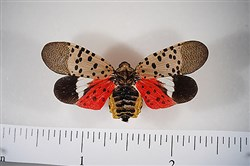 Adult spotted lanternfly is latest invasive  threat to state crops and trees