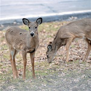 Two young deer wander in North Park, McCandless Township in March 2014.