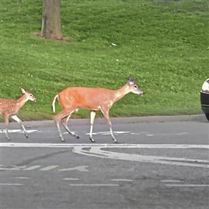In this 2013 file photo, deer slowly make their way across the road as a vehicle nears in Mt. Lebanon.
