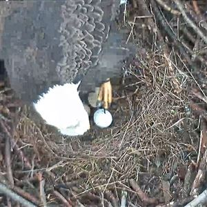 A bald eagle egg in the Hays nest in a screenshot taken Feb. 19.