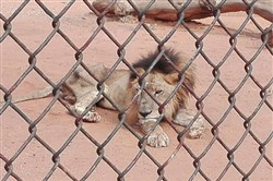 A bone-thin lion named Danko at a zoo in western Venezuela is one of the animals that activists are hoping to evacuate amid the nation's hunger crisis.