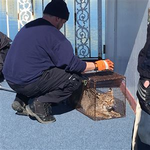 Animal control officers cage a bobcat that made its way onto the Gateway Clipper's Empress ship on Sunday, March 18, 2018