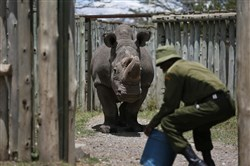 In this photo taken Wednesday, May 3, 2017, a ranger takes care of Sudan, the world's last male northern white rhino, at the Ol Pejeta Conservancy in Laikipia county in Kenya.