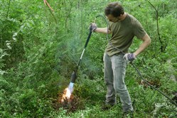 Arthur F. Link, a Chatham University graduate student, found that in the wild Japanese barberry can cause long-term damage to forests. To control the infestation, he burns one of the bushes in the wild.
