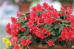 'Rise Up' begonias in Grenadine red.