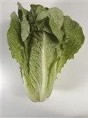 This undated photo shows romaine lettuce shot in the Houston Chronicle newspaper studio.