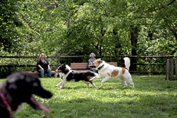 Dogs chase each other and play at the Carnegie Dog Park.