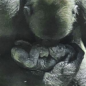 Twenty-two-year-old Western Lowland gorilla Moka gave birth to her third baby Friday morning at the Pittsburgh Zoo & PPG Aquarium in Pittsburgh.