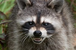 Raccoons are the most common vectors of the rabies virus.